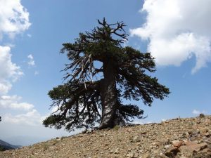 Adonis, a Bosinan pine, more than 1,075 years old, living in the alpine forests of the Pindos mountains in northern Greece. Photo: Dr. Oliver Konter, Mainz