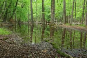 Gum Swamp, a karst-depression wetland in Great Smoky Mountain National Park, Tennessee. Credit: Alan Cressler, USGS