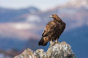An estimated 10 to 20 million birds and other animals die after feeding off of lead-laced animal carcasses left in the field by hunters. Above, a golden eagle. Photo by Alamy Keywords: stock, golden eagle, wildlife confirmed wild by Alamy on 3/19/14 DAH26B golden eagle