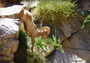 Peninsular bighorn sheep. Photo by California Department of Fish & Wildlife