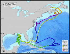 Electronic tagging data from bluefin tuna show that the fish were actively spawning in the Gulf of Mexico during the height of the Deepwater Horizon spill (green and yellow data points). (Image credit: Stanford University)