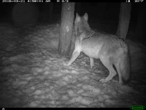 Potential evidence of at least one other wild wolf in California. CDFW trailcam photo, Lassen County.
