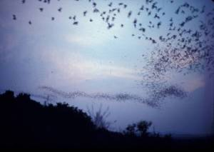 Bats leaving the Frio Cave. Credit: Gary McCracken