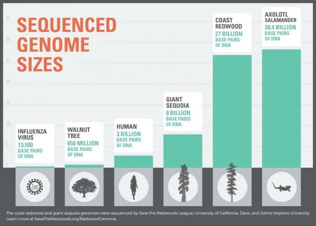 Its Genome Was Sequenced Last Year But >> Coast Redwood And Giant Sequoia Mega Genomes Sequenced Yubanet