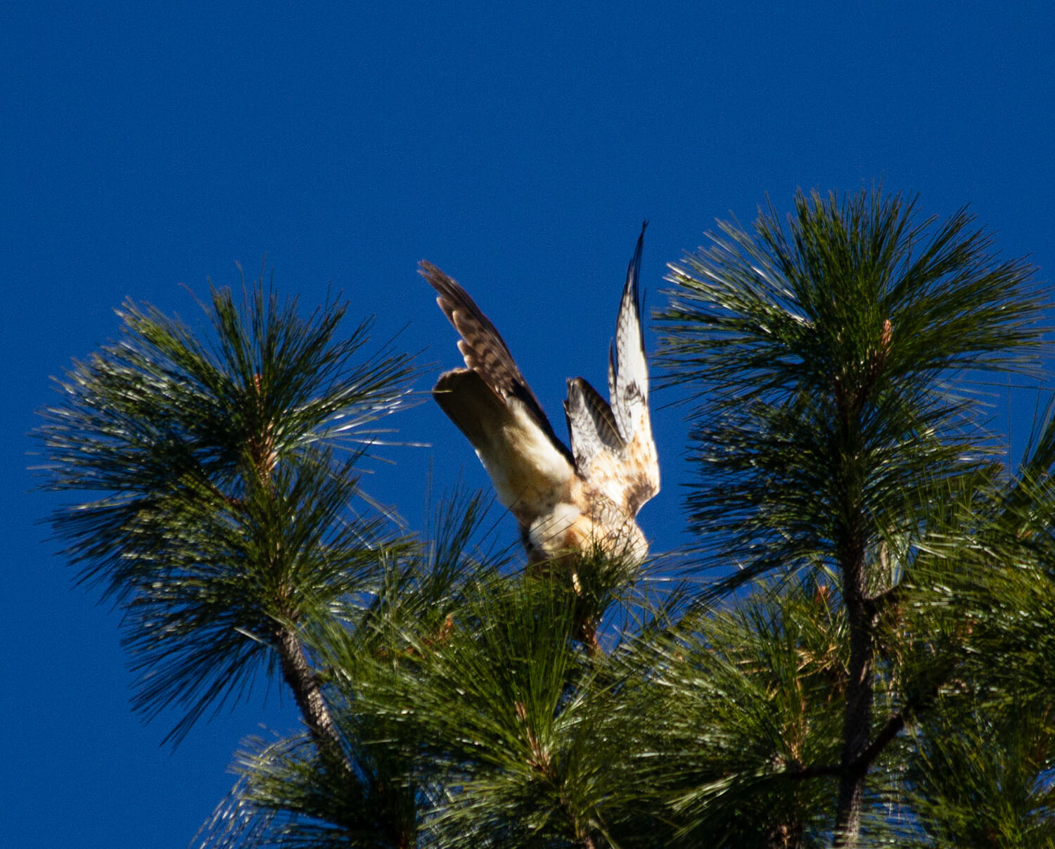 Red-tailed hawk taking flight. Photo: YubaNet